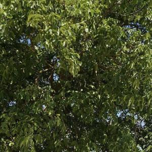 SNH-Reihen am Nussbaum